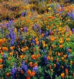 Douglas Lupine And California Poppy In Carrizo Plain National Monument Art Print