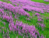 Spring Lupine Meadow In The Bald Hills, California Art Print