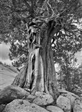 California, High Sierra Juniper Tree (BW) Art Print