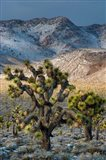 Joshua Trees In The Snow Art Print