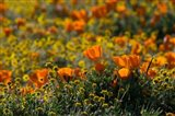 Golden California Poppy Field Art Print