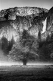 Misty Californian Oak (BW) Art Print