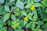 Monkey Flowers Growing Wild In Redwood National Park Art Print