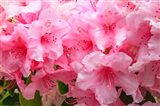 Evergreen Azalea Blooms In The Spring And Summer Art Print