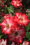 Betty Boop Rose Is A Hybrid Rose With A Moderately Fruity Aroma Art Print