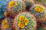 Barrel Cactus In Bloom Art Print