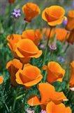 California Poppies, Antelope Valley, California Art Print