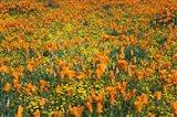 California Poppies And Goldfield Art Print