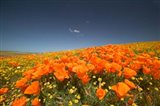 Poppies Spring Bloom 3. Lancaster, CA Art Print