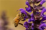 Honey Bee On Salvia Blossoms Art Print