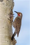 Red-Shafted Flicker Outside Of Its Tree Hole Nest Art Print