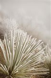 Soapweed Yucca Covered In Hoarfrost Art Print