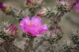 Tree Cholla Cactus In Bloom Art Print