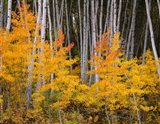 Autumn Aspen Grove In The Grand Mesa National Forest Art Print