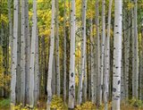 Aspen Displays Fall Color In The West Elk Mountains Art Print