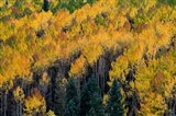 Golden Aspen Of The Uncompahgre National Forest Art Print