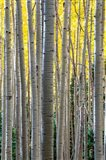 Gathering Of Yellow Aspen In The Uncompahgre National Forest Art Print
