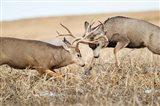 Mule Deer Bucks Fighting Art Print