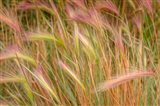 Fox-Tail Barley, Routt National Forest, Colorado Art Print