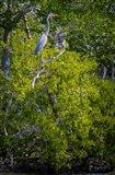 Florida Great Blue Heron, bird, Rookery Bay Art Print