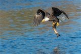 Eagle Catching A Fish,  St John River Art Print