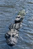 Stacking Alligators Art Print