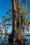 Pond Cyprus And Spanish Moss In A Swamp Art Print
