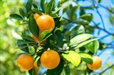 Florida Orange Tree Art Print