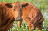 Close-Up Of Red Angus Cow Art Print