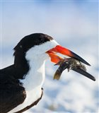 Black Skimmer With Food, Gulf Of Mexico, Florida Art Print
