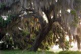 Morning Light Illuminating The Moss Covered Oak Trees, Florida Art Print