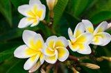 Plumeria Flowers, Island Of Kauai, Hawaii Art Print