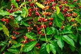 Red Kona Coffee Cherries, Hawaii Art Print