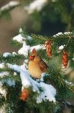 Northern Cardinal In A Spruce Tree In Winter, Marion, IL Art Print