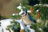 Blue Jay In Winter Spruce Tree Art Print