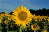Common Sunflower Field, Illinois Art Print