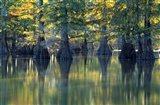 Bald Cypress Trees At Horseshoe Lake State Park, Illinois Art Print