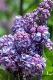 Purple Lilac Tree, Arnold Arboretum, Boston Art Print