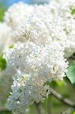White Lilac Tree, Arnold Arboretum Art Print