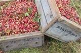 Crated Cranberries Art Print