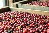Cranberry Harvest, Massachusetts Art Print