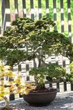 Bonsai Tree, Arnold Arboretum Art Print