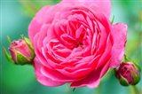 Hot Pink Knock Out Rose, Massachusetts Art Print