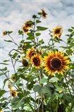 Tall Sunflowers In Cape Ann, Massachusetts Art Print