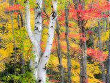 Hardwood Forest In Autumn Art Print