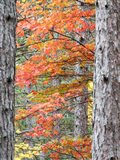 Fall Pine Trees In The Forest, Michigan Art Print