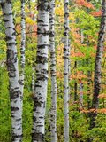 Birch Trunks And Maple Leaves, Michigan Art Print