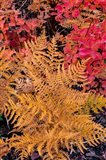 Autumn Ferns And Ground Cover, Glacier National Park, Montana Art Print