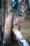 Bobcat On A Fallen Birch Limb Art Print
