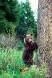 Grizzly Bear Cub Leaning Against A Tree Art Print